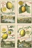 Miniature Lemons