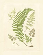 Ferns with Platemark IV