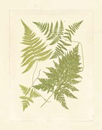 Ferns with Platemark VI