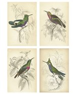 Jardini Hummingbirds