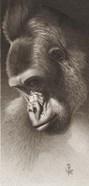 Silver Back, The Gorilla