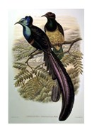 Gould Bird of Paradise I