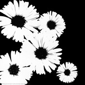 Black/White Asters I