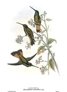 Helianthea Dichroura/Hummingbirds
