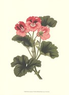 Pink Geranium I