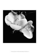 Quince Blossoms VI