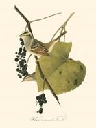 Audubon's Finch