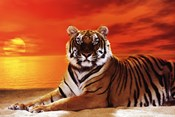 Tiger - sunset