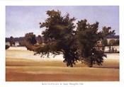 Montpellier Oak