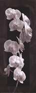 Orchid Opulence I