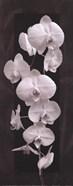 Orchid Opulence II
