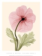 Iceland Poppy I (Med)