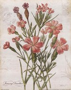 January Dianthus