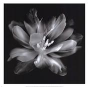 Radiant Tulip III
