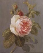 Heirloom Pink Rose