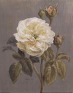 Heirloom White Rose
