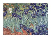 Irises, Saint-Remy, c.1889