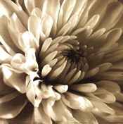 Sepia Bloom I
