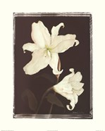 White Lilies in Chocolate