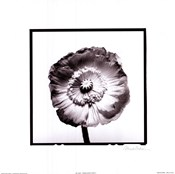 Translucent Poppy I