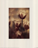 Tinted Tulips III