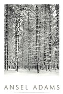 Pine Forest In The Snow, Yosemite Nation