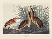 Least Bittern
