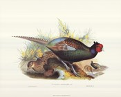 Pheasant Versicolor