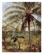 Palm Tree, Nassau 1892