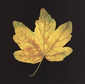 Yellow Maple