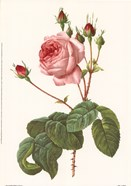 Rosa Centrifolia Bullata