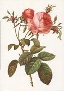 Rosa Centrifolia Foliacea