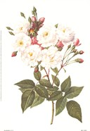Rosa Noisettiana