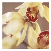 Cymbidium Flow II
