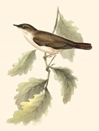 Gould's Nightingale