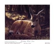 Resting Mule Deer