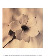 Sepia Dogwoods IV