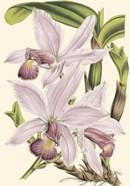 Mini Delicate Orchid I