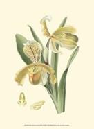Mini Delicate Orchid IV