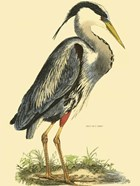Small Great Blue Heron