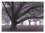 Oak Grove in Fog