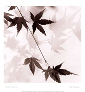 Japanese Maple Leaves No. 1