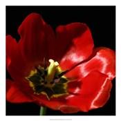 Shimmering Tulips I