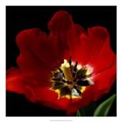 Shimmering Tulips II