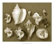 Shell Collector Series II