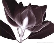 Magnolia (Sm.)