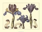 Iris in Bloom II