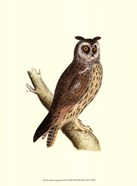 Morris Long Eared Owl