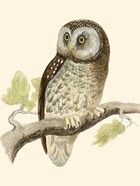 Morris Tengmalm&#39;s Owl
