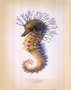 Shorthead Seahorse